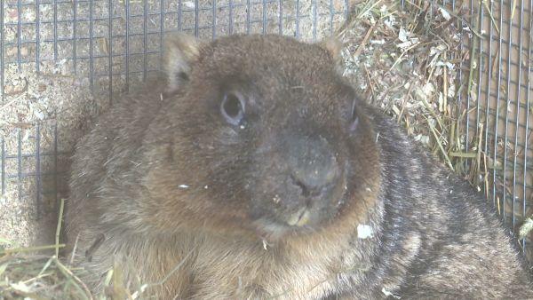 В Ярославском зоопарке проснулся сурок Федор