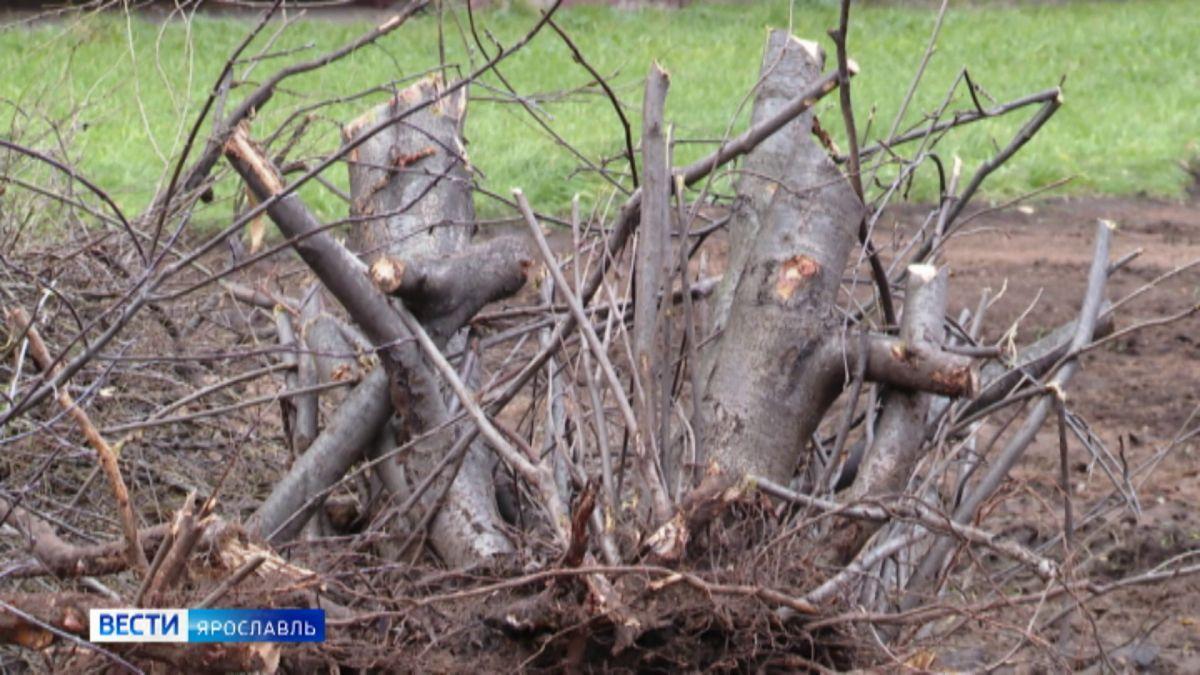 «Выращивали 35 лет»: в одном из дворов на улице Нефтяников в Ярославле вырубают деревья