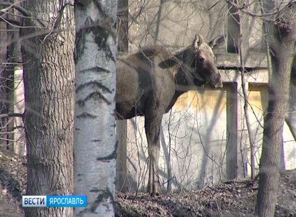 В Ярославской области участились ДТП с участием лосей