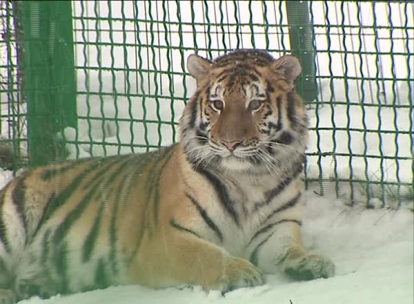 Амурская тигрица Яшма обживается в Ярославском зоопарке